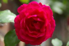 Rose.4